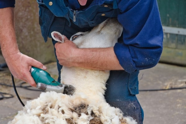 Best Goat and Sheep Clippers