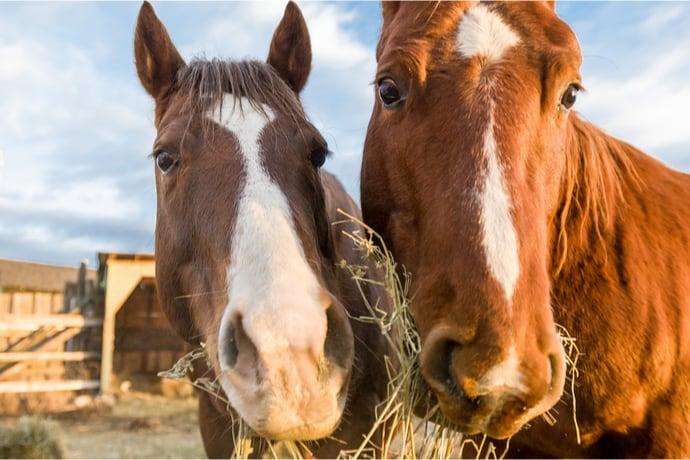 Horses Wasting Hay
