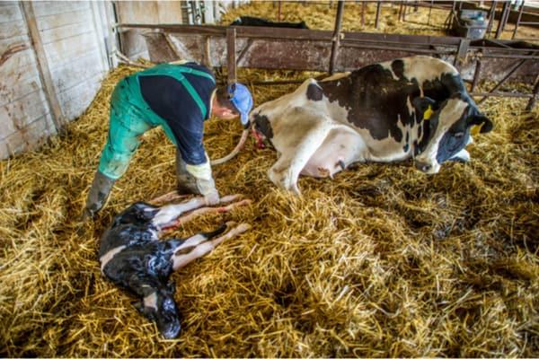 Best Calf Puller