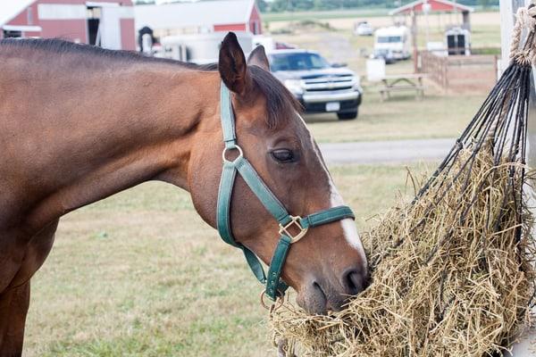 Horse Feeding From Hay Net