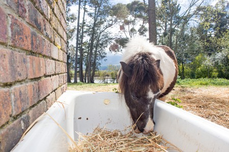 Horse Feeding from Hay Tub