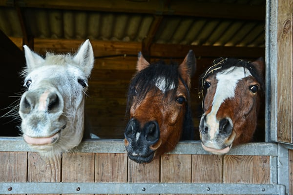 Horses in Barn Together