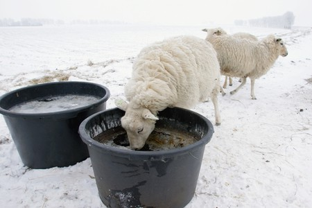 Sheep Water Bucket Deicer