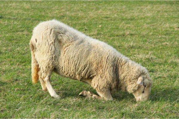 Struggling Ill Sheep