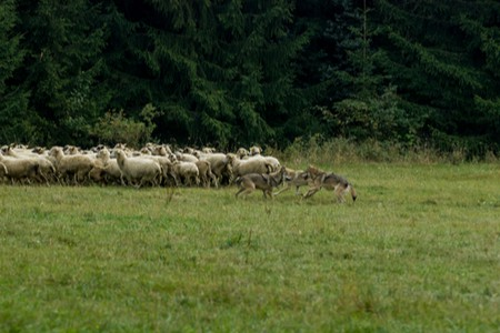 Wolf Hunting Sheep